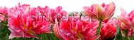 stock-photo-group-of-pink-tulips-on-a-white-background-panorama-spring-landscape-132044714